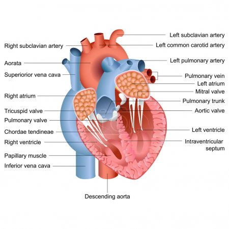 Illustration for Vector illustration of drawing of heart anatomy - Royalty Free Image