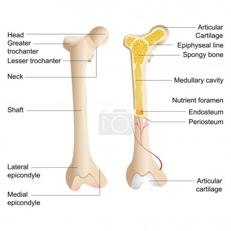 Vector Bone Anatomy
