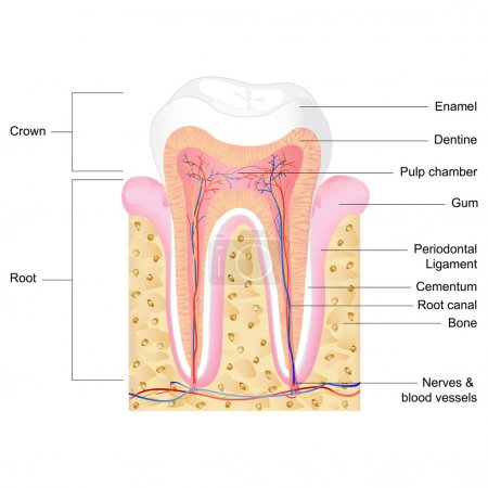 Photo for Vector illustration of human tooth anatomy with label - Royalty Free Image