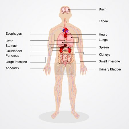 Illustration for Vector illustration of diagram of human anatomy - Royalty Free Image