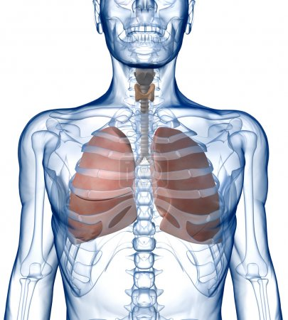 Lungs in the Rib_Cage Front View