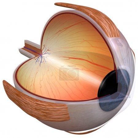 Eye Diagram three quarter view