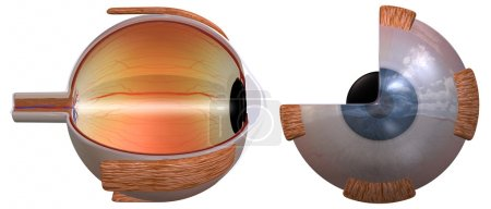 3D rendering of the human eye, two views...