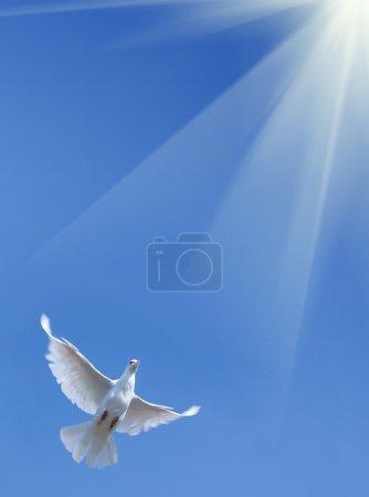 Photo pour Pigeon blanc contre le ciel bleu - image libre de droit