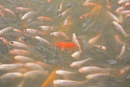 A school of colorful koi carps surfaces in a feedi...