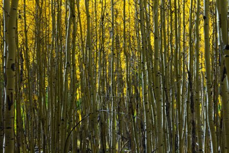Aspen Trees Abstract Natural Background Pattern