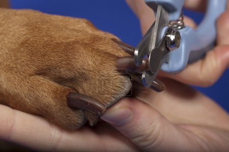 Trimming dog nails