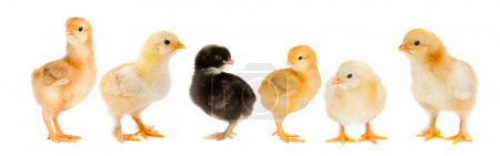 Five yellow chicks and one chick black