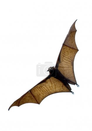 Photo for Flying fox - huge bat - Royalty Free Image