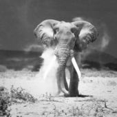 Starý slon