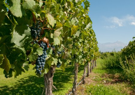 Vineyards of Mendoza, Argentina...
