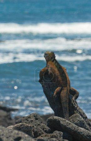 Photo for Marine iguana on the rocks, galapagos islands, ecuador - Royalty Free Image