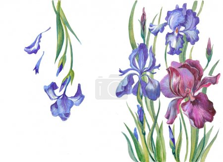 Irises on a white background