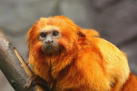 Photo pour Portrait de singe tamarin lion doré. vue de face. - image libre de droit