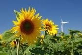 Slunečnice a větrná energie