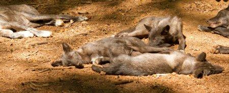 Photo pour Un groupe de jeunes loups dans un zoo allemand - image libre de droit