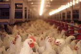 Chicken Farm, Poultry