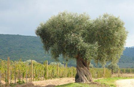 Olive tree and vineyard