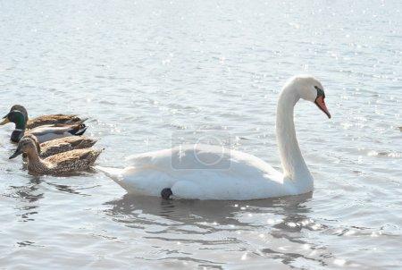 Swans and wild ducks