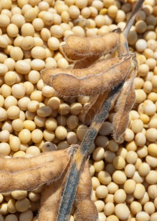 Photo for Close up photo of soy bean after harvest - Royalty Free Image