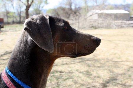 """Foto de Los perros también tienen personalidades! son de Doberman alto, delgados perros con una disposición muy estoico. son observadores como puedes ver este Doberman intensamente viendo lo que está pasando a su alrededor."""" - Imagen libre de derechos"""