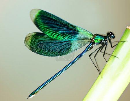 Photo for Beautiful Bright Dragonfly - Royalty Free Image