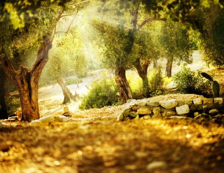 Photo for Olive Trees - Royalty Free Image