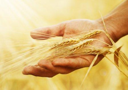 Photo pour Oreilles de blé dans la main. Concept de récolte - image libre de droit