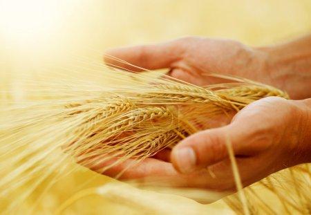 Photo pour Oreilles de blé dans les mains. Concept de récolte - image libre de droit