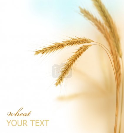 Photo for Wheat Border - Royalty Free Image