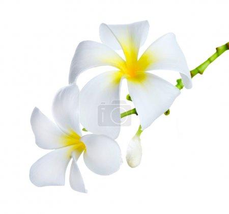 Photo pour Frangipani Spa Fleurs border.Plumeria - image libre de droit