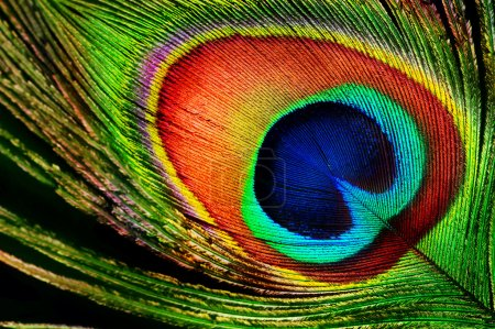 Photo for Peacock Feather - Royalty Free Image