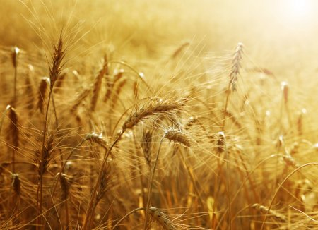 Photo for Golden Wheat Field - Royalty Free Image