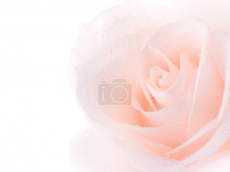 Beautiful Soft Rose Over White