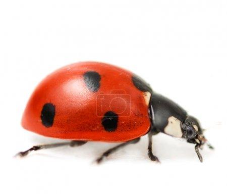 Supermacro Of Ladybug. Studio Isolated
