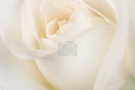 Beautiful Soft Rose