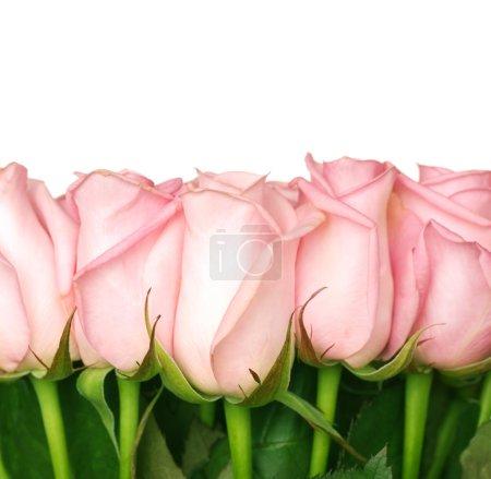 Photo pour Frontière de belles roses - image libre de droit
