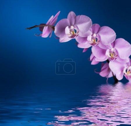Photo pour Orchidée sur bleu avec la réflexion - image libre de droit