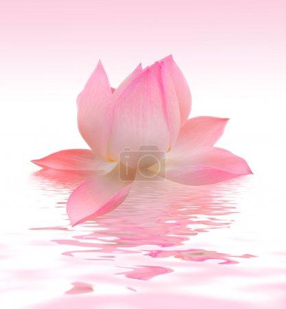 Photo pour Beau lotus - image libre de droit