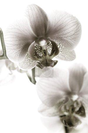 Photo pour Orchidée noir et blanche - image libre de droit