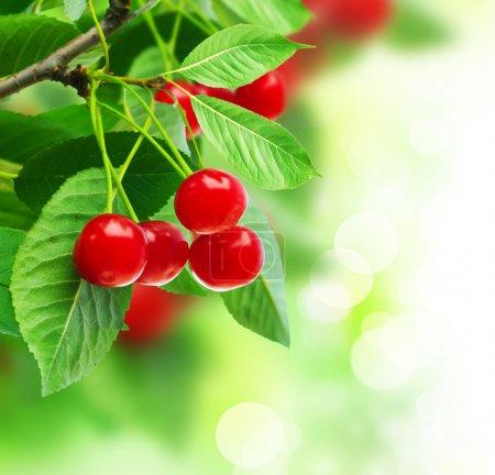 Beautiful Fresh Cherries On Branch