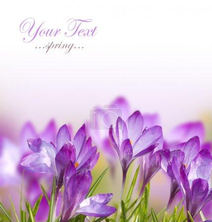 Photo pour Belles fleurs de printemps - image libre de droit