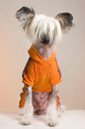 Photo pour Chinois à crête de chien - image libre de droit