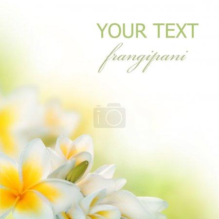 Photo pour Frangipani Spa Fleurs frontière. Plumeria - image libre de droit