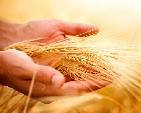 Photo for Wheat ears in the hands. Harvest concept - Royalty Free Image