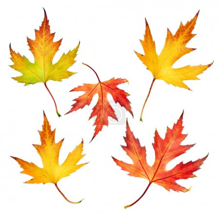 Photo for Autumn Leaves Set - Royalty Free Image