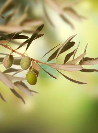 Olives Vintage background