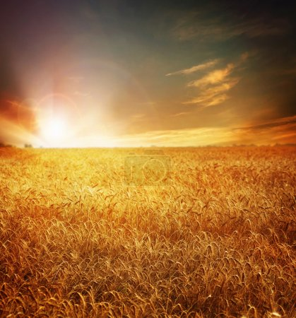 Golden Wheat Field And Sunset