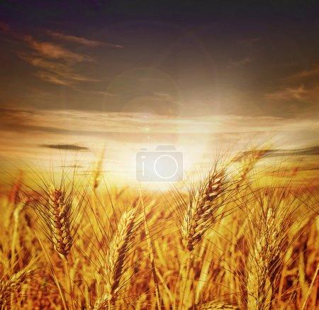 Beautiful Wheat. Sunset