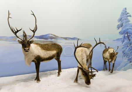 Photo pour Une famille de caribous fait une pause en hiver en Saskatchewan, au Canada . - image libre de droit